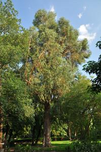 Senda botánica del Retiro número seis, Eucalipto blanco (64) (Eucalyptus globulus)