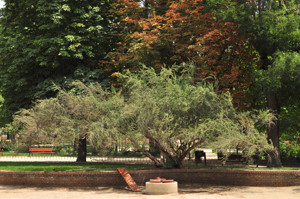Senda botánica del Retiro número seis, Huingan (68) (Schinus polygamus)