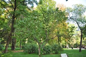 Senda botánica del Retiro número seis, Lilo (61) (Syringa vulgaris)