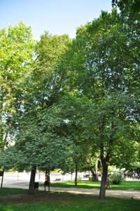 Senda botánica del Retiro número seis, Olmo común (58) (Ulmus minus)