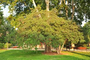 Senda botánica del Retiro número seis, Pitosporo (70) (Pittosporum tobira)