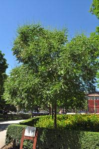 Senda botánica del Retiro número siete, Árbol de los Farolillos