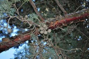Senda botánica del Retiro número siete, Piña de la Arizónica