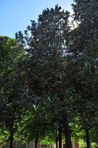 Senda botánica del Retiro número siete, Arizónica