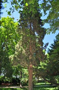 Senda botánica del Retiro número siete, Ciprés