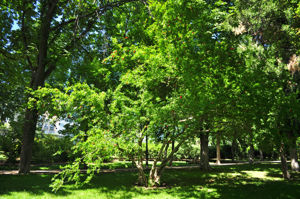 Senda botánica del Retiro número siete, Granado