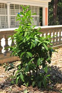 Senda botánica del Retiro número siete, Laurel cerezo