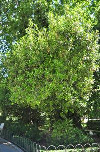 Senda botánica del Retiro número siete, Laurel
