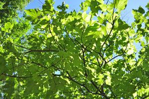 Senda botánica del Retiro número siete, Ramas y hojas de Parasol chino