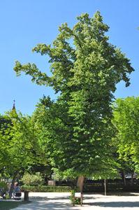Senda botánica del Retiro número siete, Tilo europeo