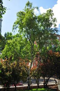 Senda botánica del Retiro número tres, Abedul (30) (Betula pendula)