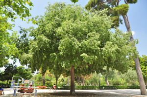 Senda botánica del Retiro número tres, Almez (36) (Celtis australis)