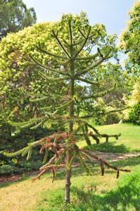 Senda botánica del Retiro número tres, Araucaria (35) (Araucaria araucana)