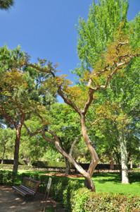 Senda botánica del Retiro número tres, Árbol de Júpiter (37) (Lagerstroemia indica)