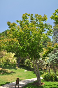 Senda botánica del Retiro número tres, Arce japonés (29) (Acer palmatum)