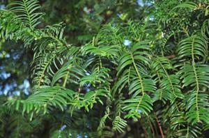Senda botánica del Retiro número tres, Hojas de Cefalotejo (25) (Cephalotaxus harringtonia)