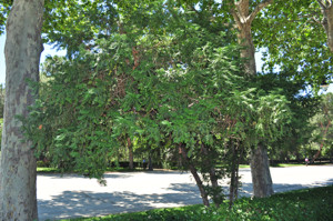 Senda botánica del Retiro número tres, Cefalotejo (25) (Cephalotaxus harringtonia)