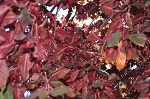 Senda botánica del Retiro número tres, Hojas de Ciruelo de Pissard (26) (Prunus cerasifera)