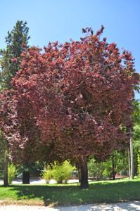 Senda botánica del Retiro número tres, Ciruelo de Pissard (26) (Prunus cerasifera)
