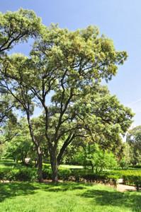 Senda botánica del Retiro número tres, Encina (27) (Quercus ilex)