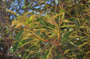 Senda botánica del Retiro número tres, Hojas de la Fotinia (23) (Photinea serrulata)