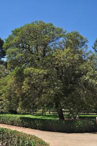 Senda botánica del Retiro número tres, Fotinia (23) (Photinea serrulata)
