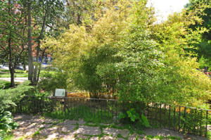Senda botánica del Retiro número tres, Tocón del Haya (34) (Fagus sylvatica)