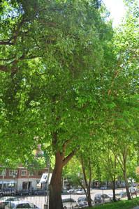 Senda botánica del Retiro número tres, Morera (28) (Morus alba)