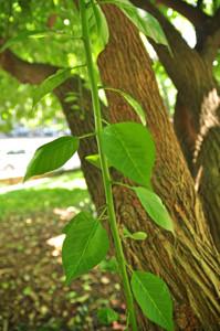 Senda botánica del Retiro número tres, Hojas del Naranjo de los Osage (31) (Maclura pomifera)