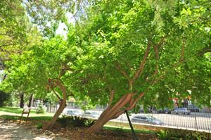 Senda botánica del Retiro número tres, Naranjo de los Osage (31) (Maclura pomifera)
