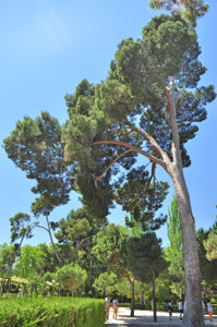 Senda botánica del Retiro número tres, Pino carrasco (24) (Pinus halepensis)