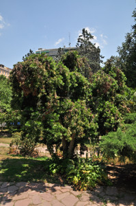 Senda botánica del Retiro número tres, Podocarpo (32) (Podocarpus neriifolius)