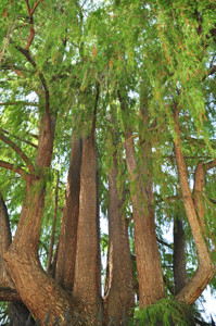 Senda botánica del Retiro número uno, Ramas del Ahuehuete (8) (Taxodium mucronatum Ten)