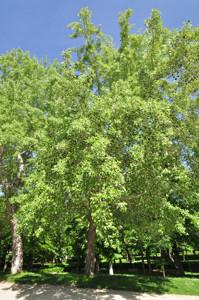 Senda botánica del Retiro número uno, Álamo blanco (6) (Populus alba L.)