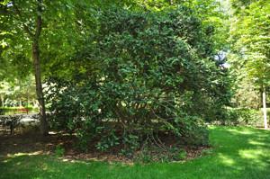 Senda botánica del Retiro número uno, Boj (2) (Buxus sempervirens)