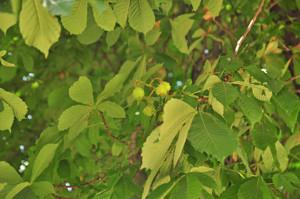 Senda botánica del Retiro número uno, Fruto del Castaño de Indias (10) (Aesculus hippocastanum)