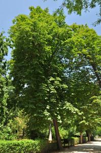 Senda botánica del Retiro número uno, Castaño de Indias (10) (Aesculus hippocastanum)