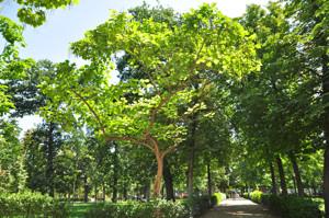 Senda botánica del Retiro número uno, Catalpa (3) (Catalpa bignonioides)