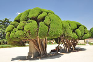 Senda botánica del Retiro número uno, Ciprés (7) (Cupressus sempervirens)