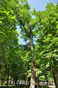Senda botánica del Retiro número uno, Robinia (1) (Robinia pseudoacacia)