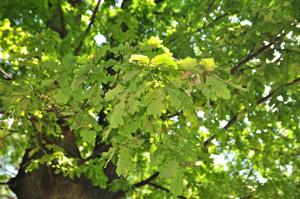 Senda botánica del Retiro número uno, Hojas del Roble (4) (Quercus robur)