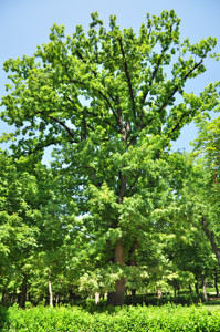 Senda botánica del Retiro número uno, Roble (4) (Quercus robur)