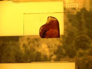 Museo Geominero, Fósiles conservados en ámbar