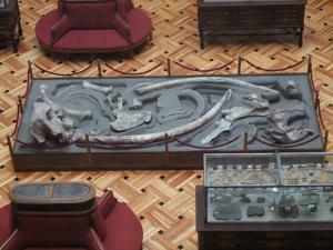 Museo Geominero, Reproducción de restos de mastodonte